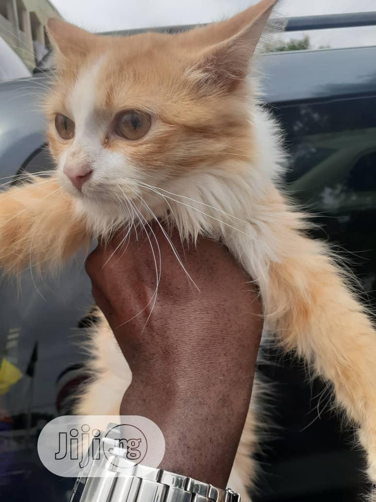 1-3 Month Male Purebred Maine Coon | Cats & Kittens for sale in Wuse 2, Abuja (FCT) State, Nigeria