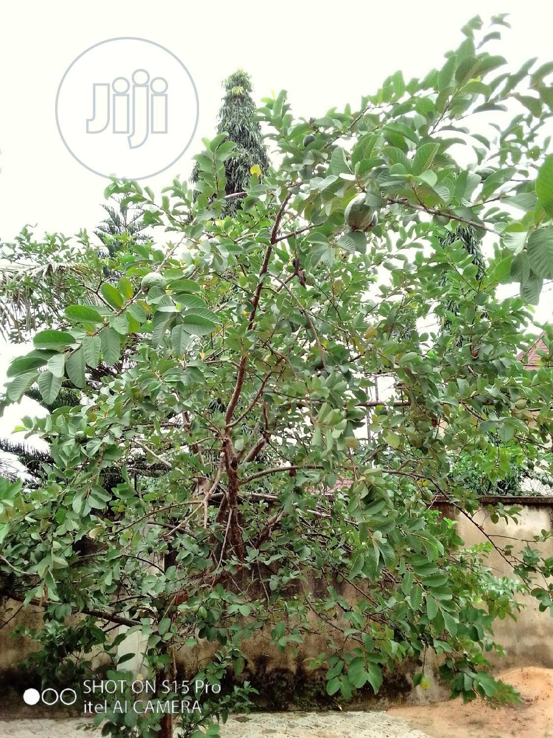 Archive: Guava And Other Fruit Trees Fertilizing,Treatment, And Sales