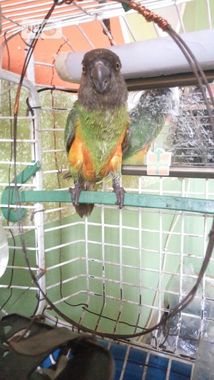 Archive: Parrots For Sale