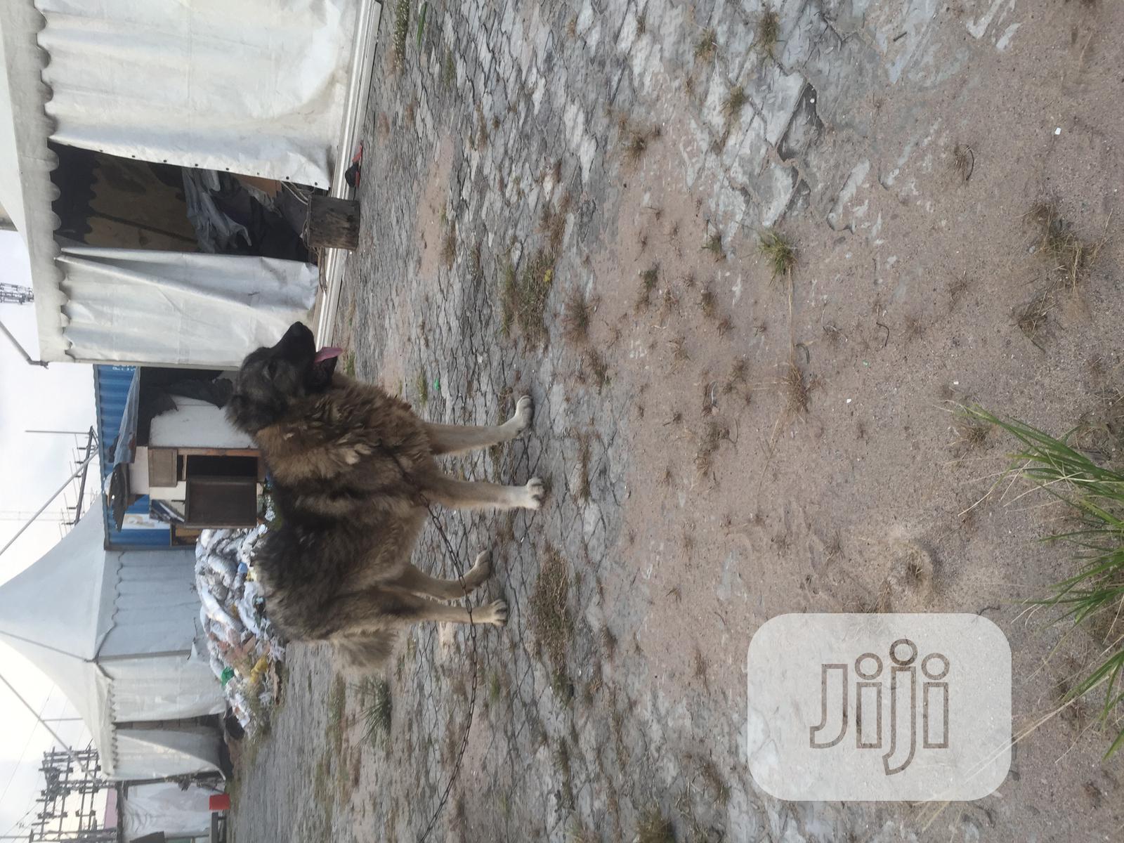 Senior Male Purebred Caucasian Shepherd | Dogs & Puppies for sale in Victoria Island, Lagos State, Nigeria