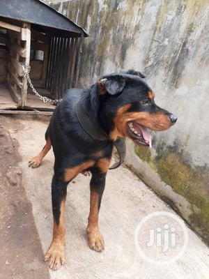 Adult Male Purebred Rottweiler   Dogs & Puppies for sale in Osun State, Osogbo