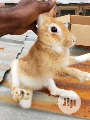 Female Pregnant Rabbit, Bunny Buck   Livestock & Poultry for sale in Oyo State, Oluyole