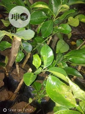 Budded Sweet Orange Seedlings | Feeds, Supplements & Seeds for sale in Oyo State, Ibadan