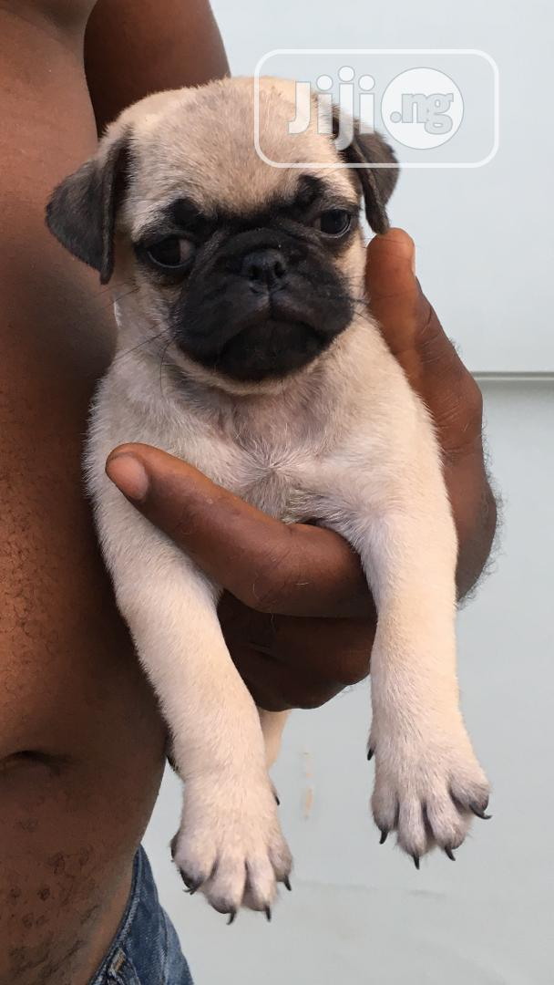 Baby Male Purebred Pug | Dogs & Puppies for sale in Agege, Lagos State, Nigeria