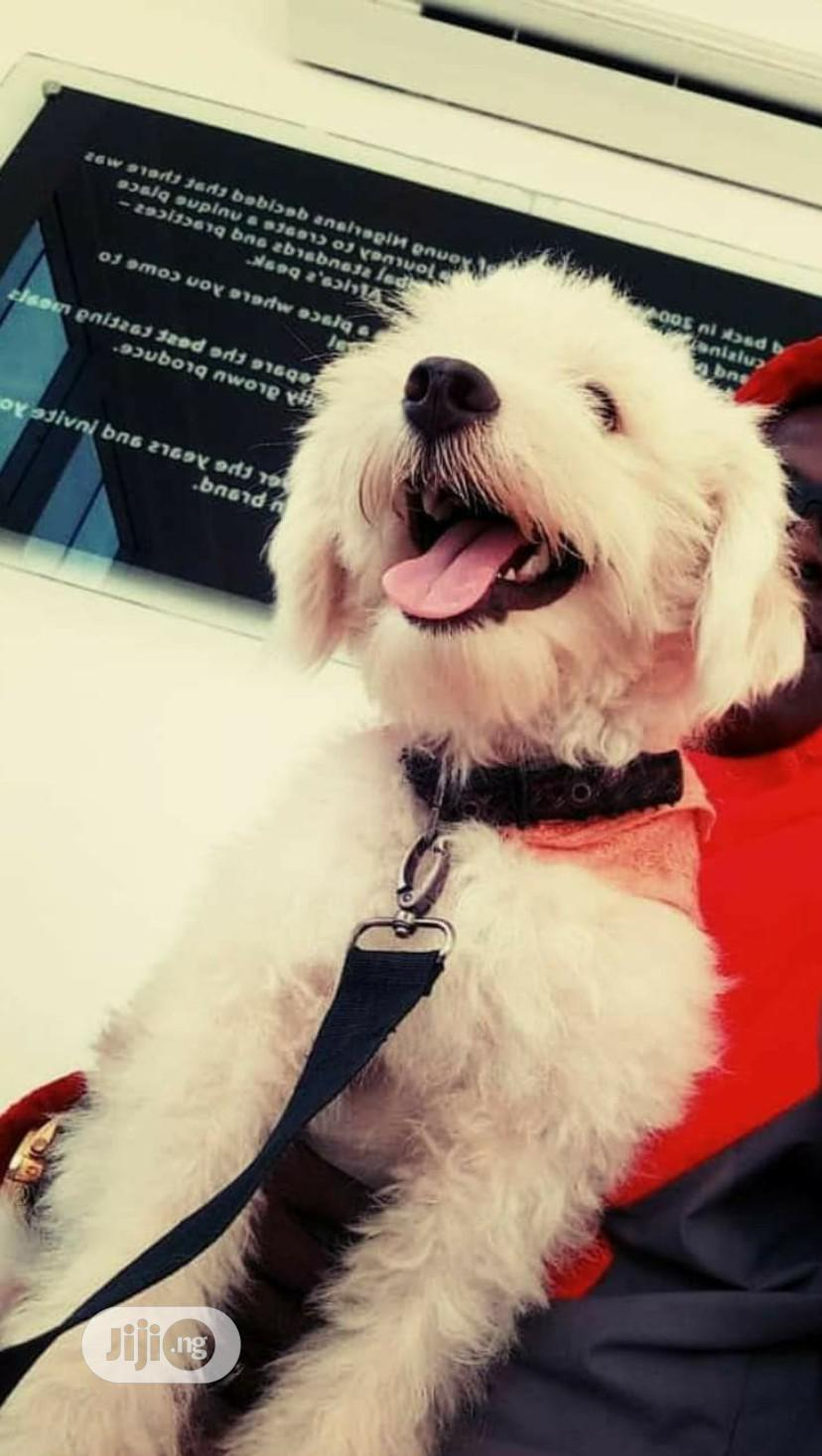 1+ year Male Purebred Lhasa Apso | Dogs & Puppies for sale in Ikwerre, Rivers State, Nigeria