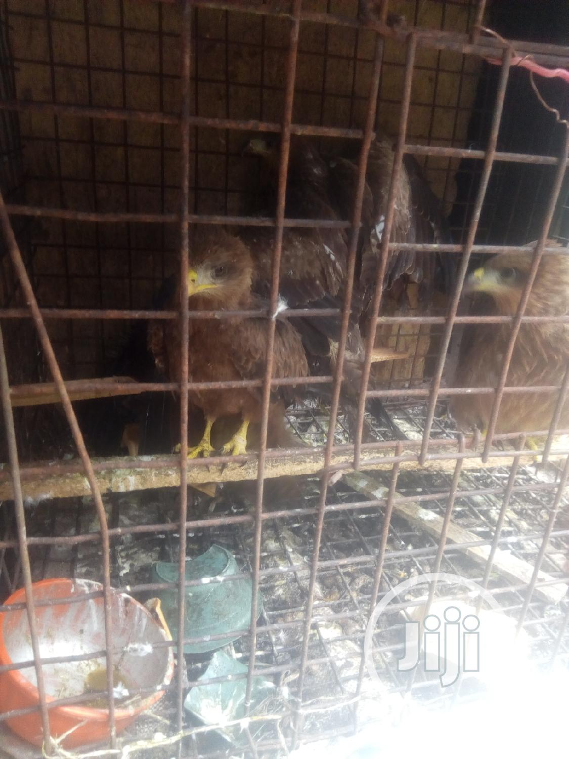 Falcon Birds | Birds for sale in Badagry, Lagos State, Nigeria