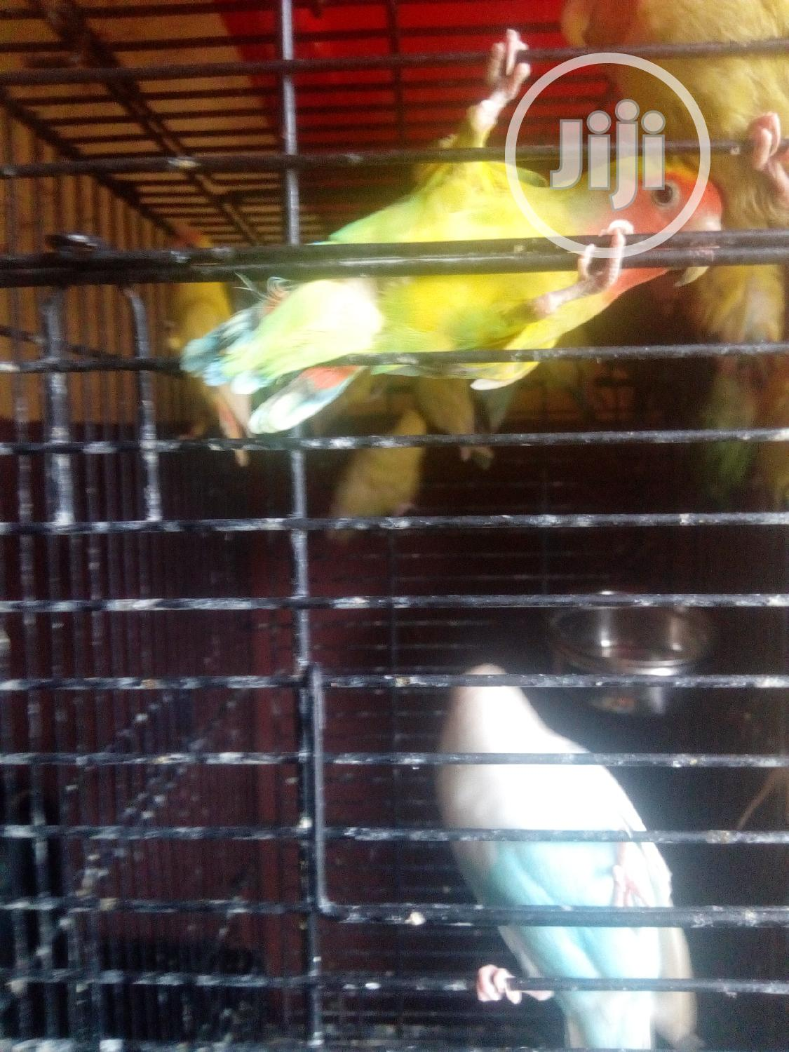 Any Kinds Of Love Birds Is Available For Sales. | Birds for sale in Badagry, Lagos State, Nigeria