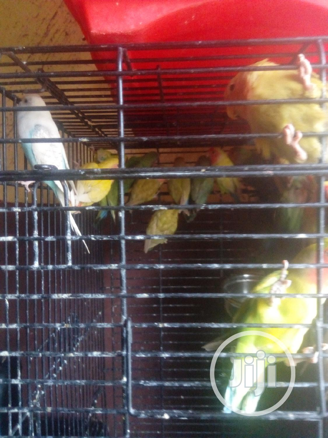 Any Kinds Of Love Birds Is Available For Sales.
