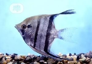 Angel Fish For You | Fish for sale in Lagos State, Ikoyi