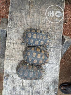Giant Tortoise | Reptiles for sale in Lagos State, Surulere