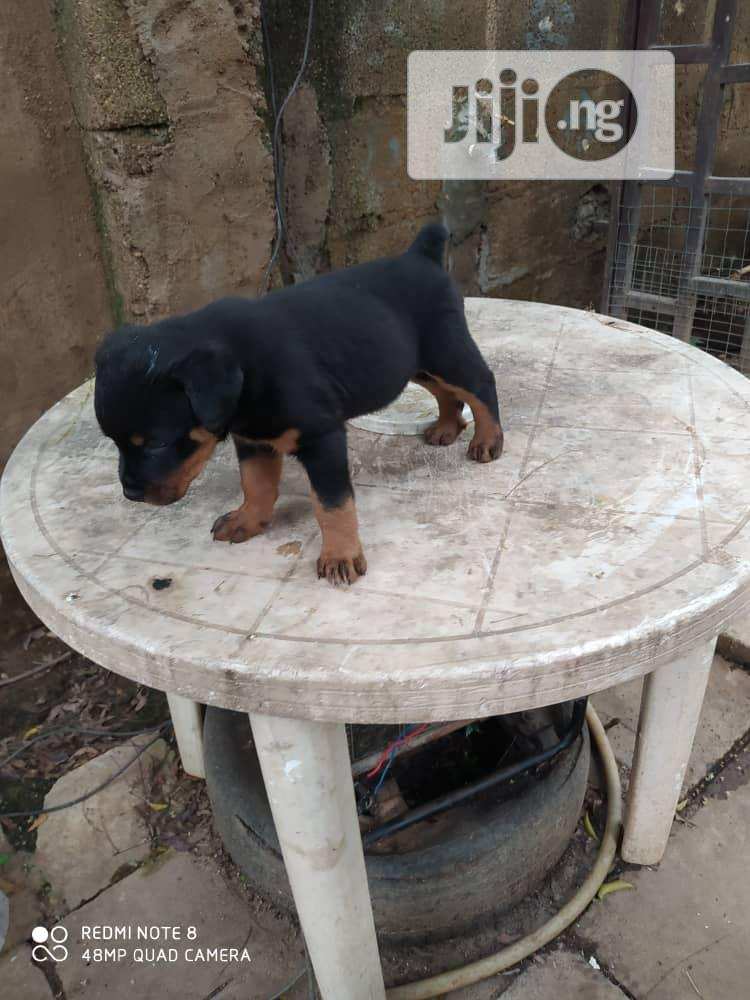Baby Male Purebred Rottweiler | Dogs & Puppies for sale in Kubwa, Abuja (FCT) State, Nigeria