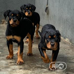 6-12 Month Male Purebred Rottweiler   Dogs & Puppies for sale in Lagos State, Surulere