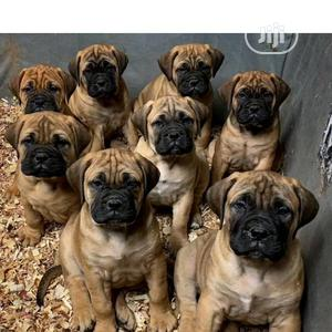 1-3 Month Male Purebred Bullmastiff | Dogs & Puppies for sale in Lagos State, Surulere