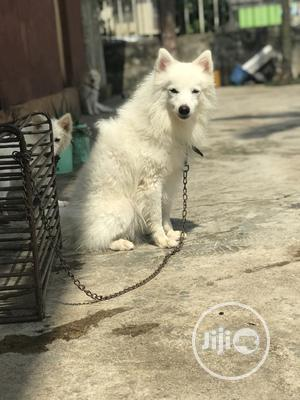 1+ Year Male Purebred American Eskimo | Dogs & Puppies for sale in Lagos State, Alimosho