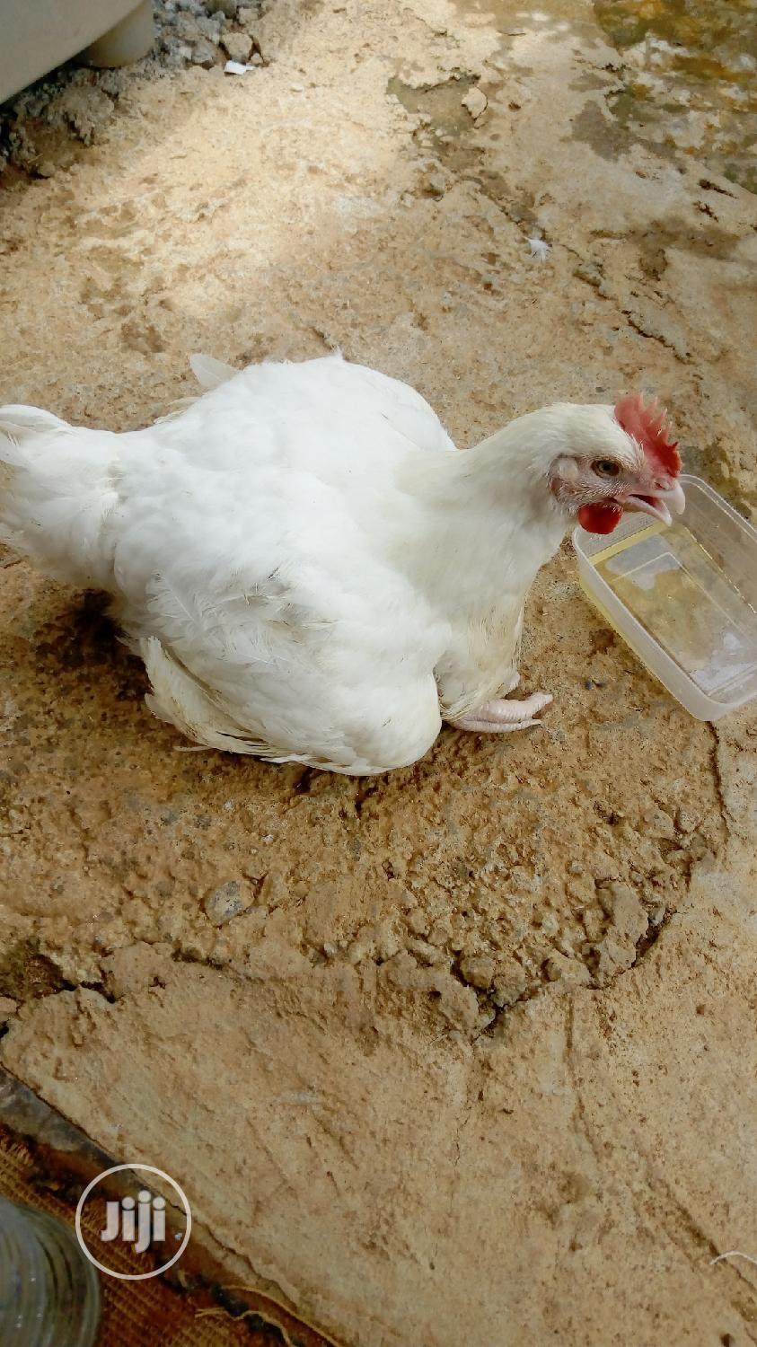 Archive: Live Broiler Chicken