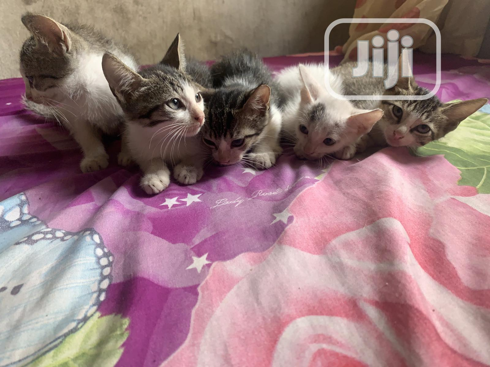 Young Male Purebred Abyssinian | Cats & Kittens for sale in Obio-Akpor, Rivers State, Nigeria