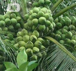 Hybrid Dwarf Green Coconut Seedlings   Feeds, Supplements & Seeds for sale in Delta State, Aniocha South