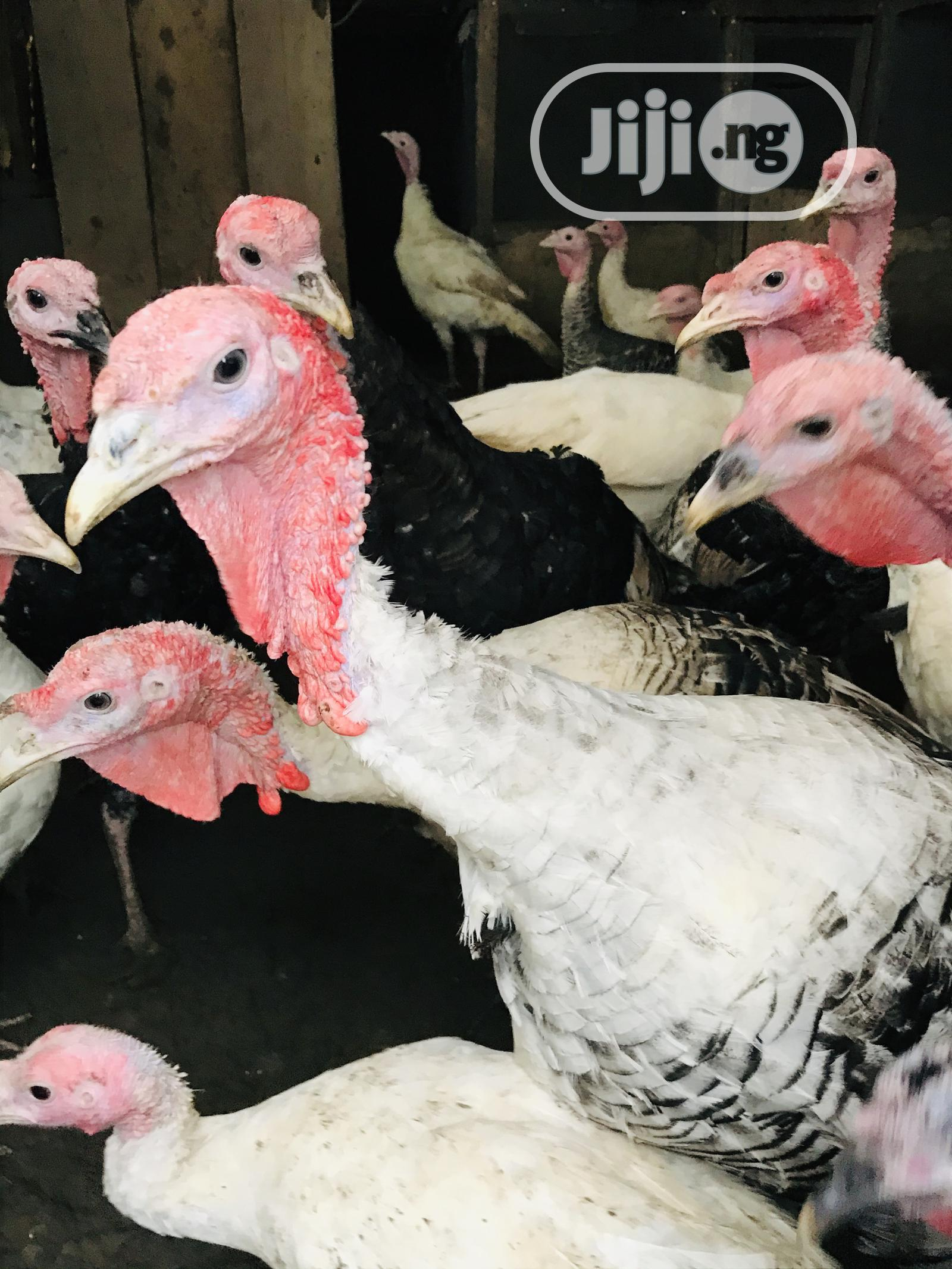 Mature Turkeys | Livestock & Poultry for sale in Apo District, Abuja (FCT) State, Nigeria