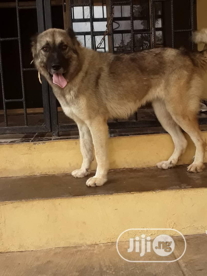 Young Female Purebred Caucasian Shepherd | Dogs & Puppies for sale in Ibadan, Oyo State, Nigeria