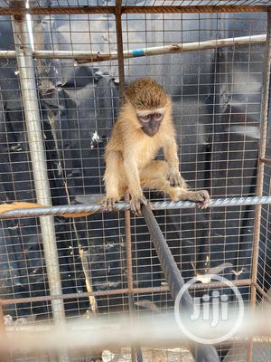 Monkeys Available For Sale   Other Animals for sale in Delta State, Warri