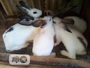 Hybrid Rabbits For Sale   Livestock & Poultry for sale in Osun State, Osogbo