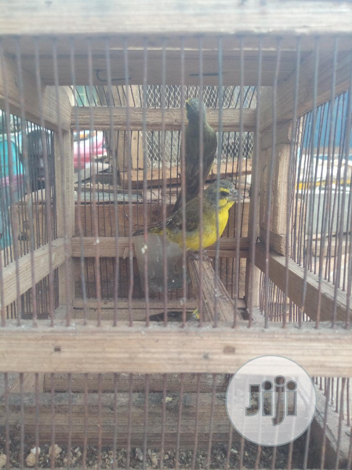 Canary,PARROTS Yellow Birds,Columbidae-columba Pigeon Birds. | Birds for sale in Ikorodu, Lagos State, Nigeria