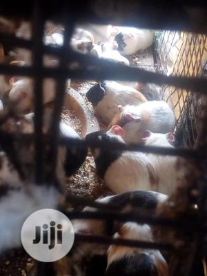 Well Healthy Guinea Pig Is For Sale   Livestock & Poultry for sale in Lagos State, Surulere