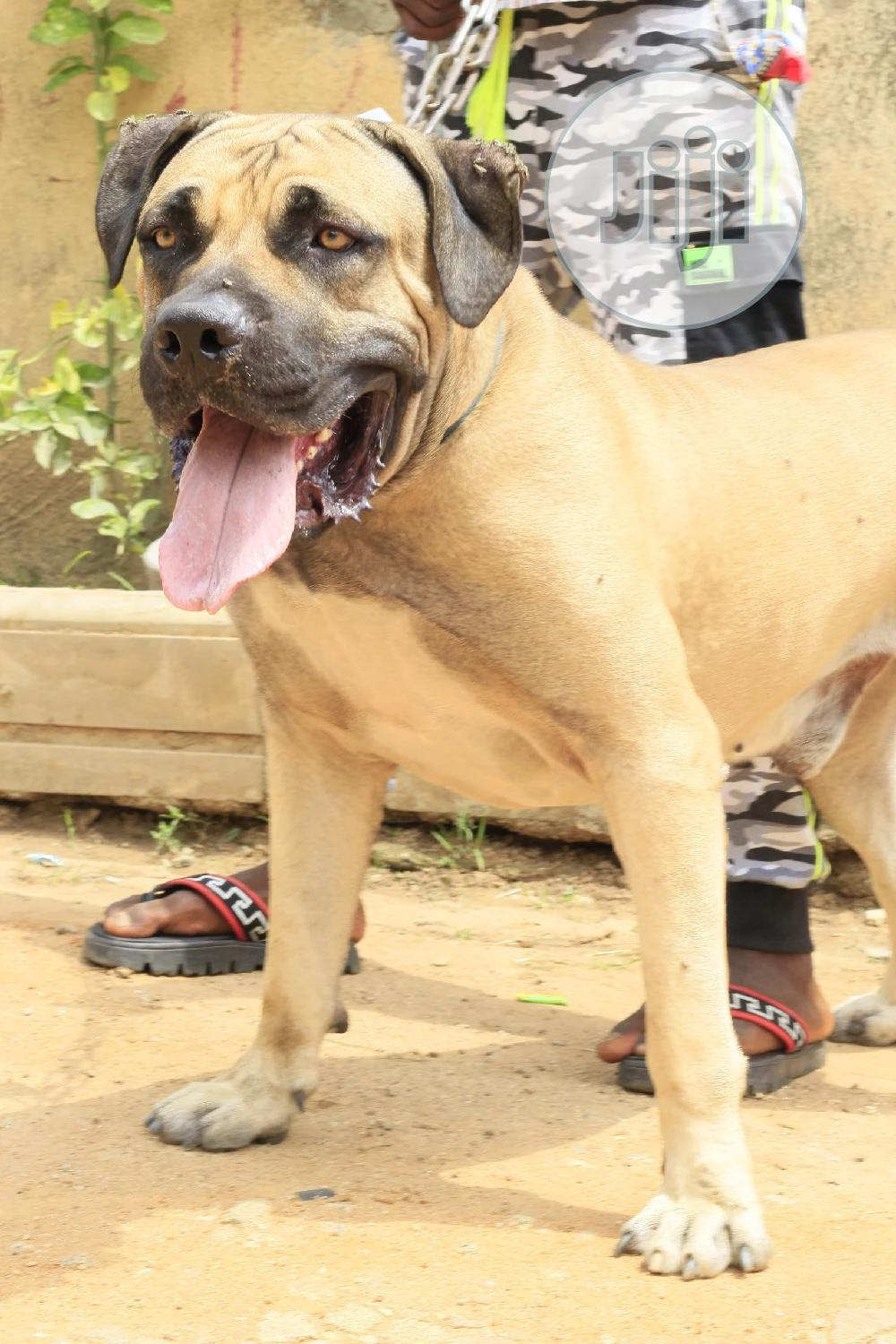 Archive: Ped Boerboel Available For Stud/ Matting Service