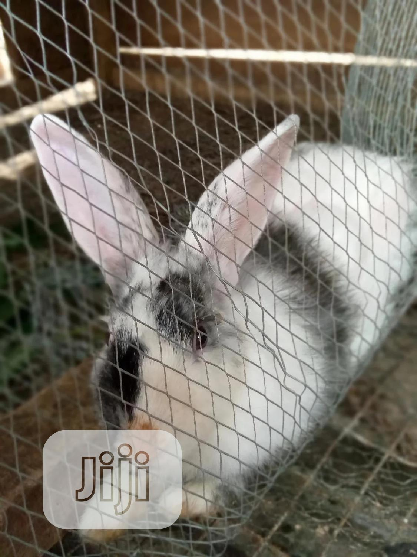 Olabams2 Rabbit Farm | Livestock & Poultry for sale in Abeokuta South, Ogun State, Nigeria