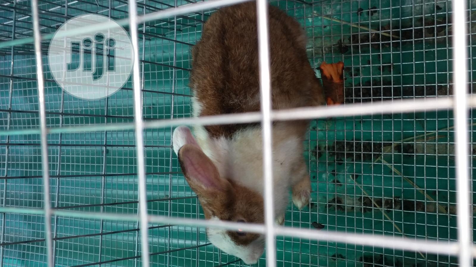 Pregnant Dutch Rabbit