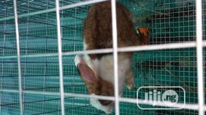 Pregnant Dutch Rabbit   Livestock & Poultry for sale in Lagos State, Ikorodu