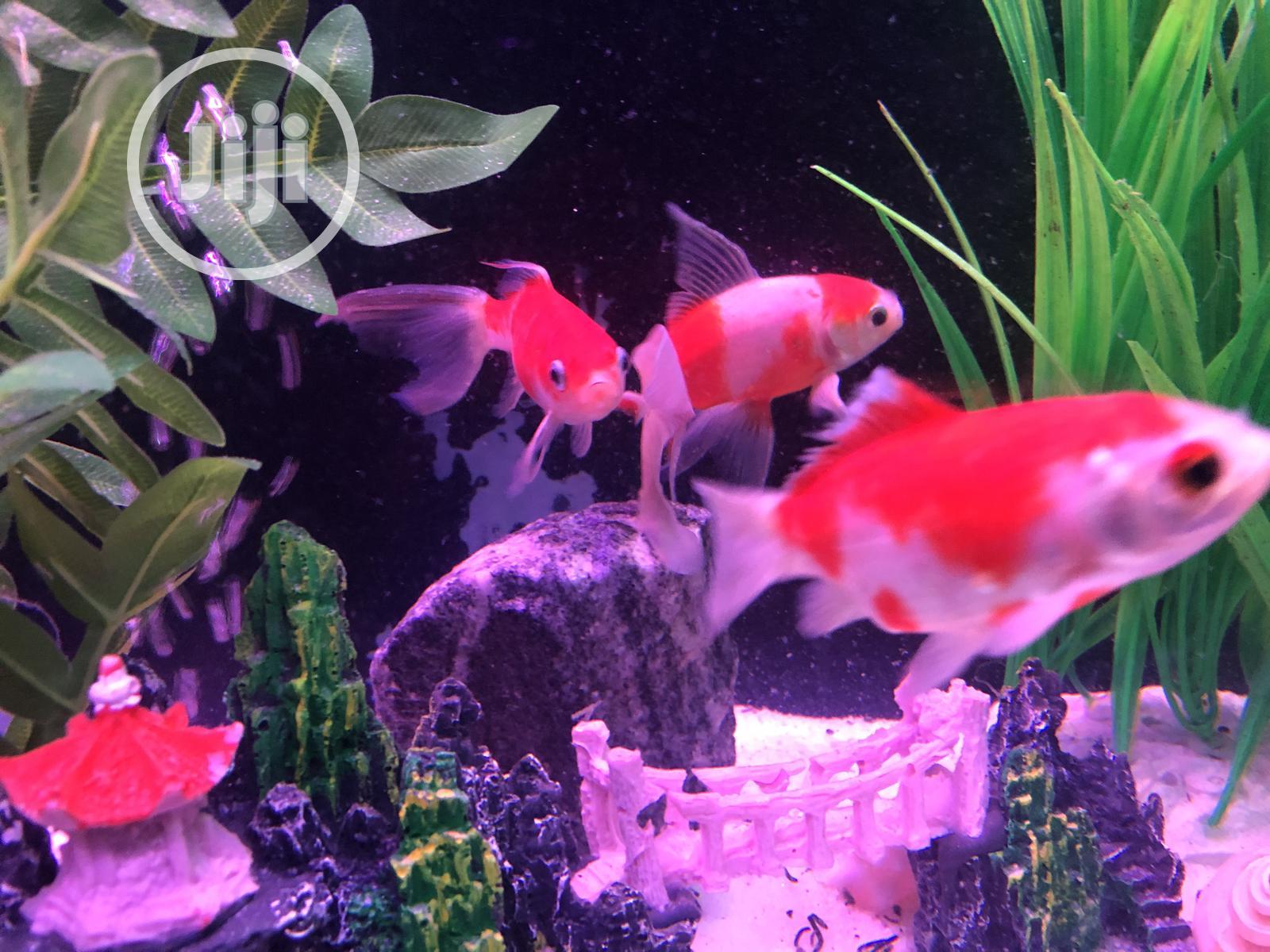 Archive: Orange And White Gold Fish