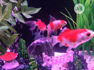 Orange And White Gold Fish | Fish for sale in Lagos State, Ikoyi