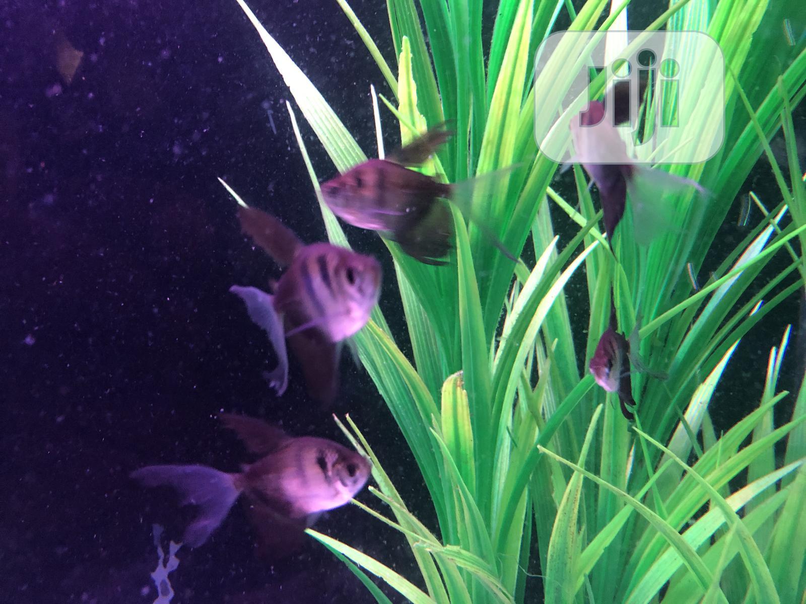 Black Tetra   Fish for sale in Ikoyi, Lagos State, Nigeria