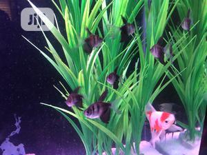 Black Tetra | Fish for sale in Lagos State, Ikoyi