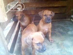 Baby Male Purebred Boerboel   Dogs & Puppies for sale in Lagos State, Surulere