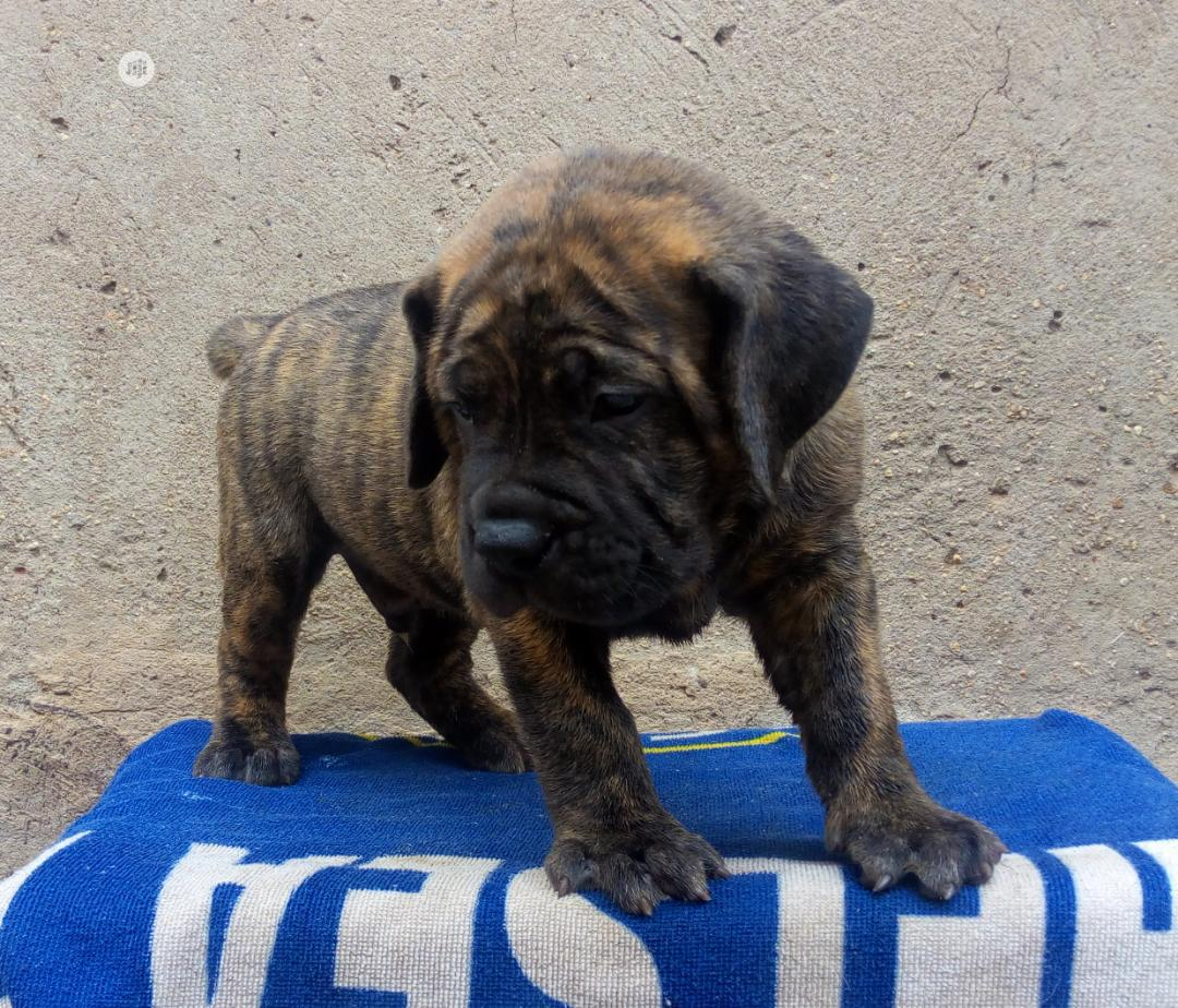 Baby Male Purebred Boerboel | Dogs & Puppies for sale in Surulere, Lagos State, Nigeria