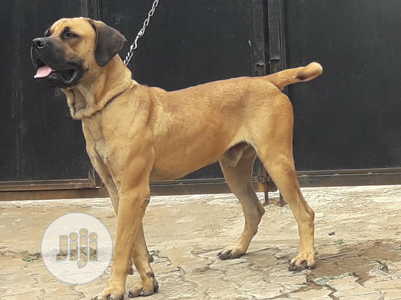 Adult Male Purebred Boerboel | Dogs & Puppies for sale in Ifako-Ijaiye, Lagos State, Nigeria