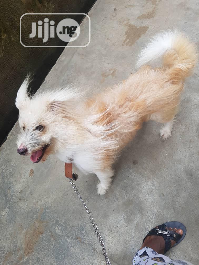 Adult Male Purebred Dog