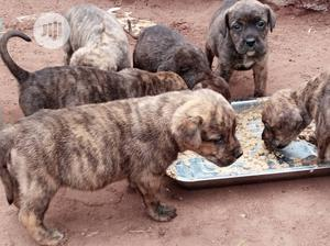 Baby Female Purebred Boerboel | Dogs & Puppies for sale in Delta State, Warri