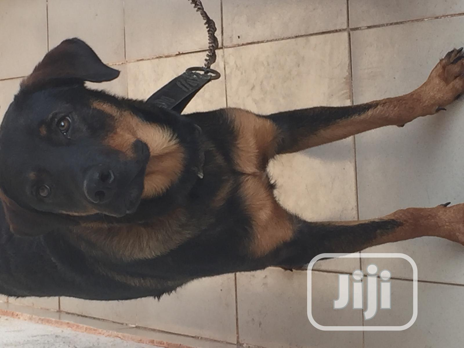 6-12 Month Male Mixed Breed Rottweiler   Dogs & Puppies for sale in Port-Harcourt, Rivers State, Nigeria