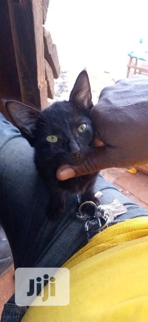 Young Female Purebred Bombay   Cats & Kittens for sale in Lagos State, Ikorodu
