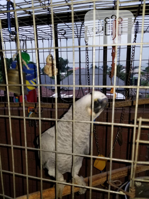 Already Talking African Grey Parrot