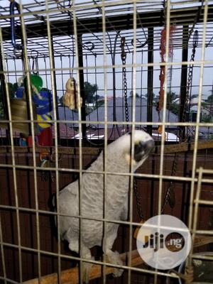 Already Talking African Grey Parrot | Birds for sale in Imo State, Owerri