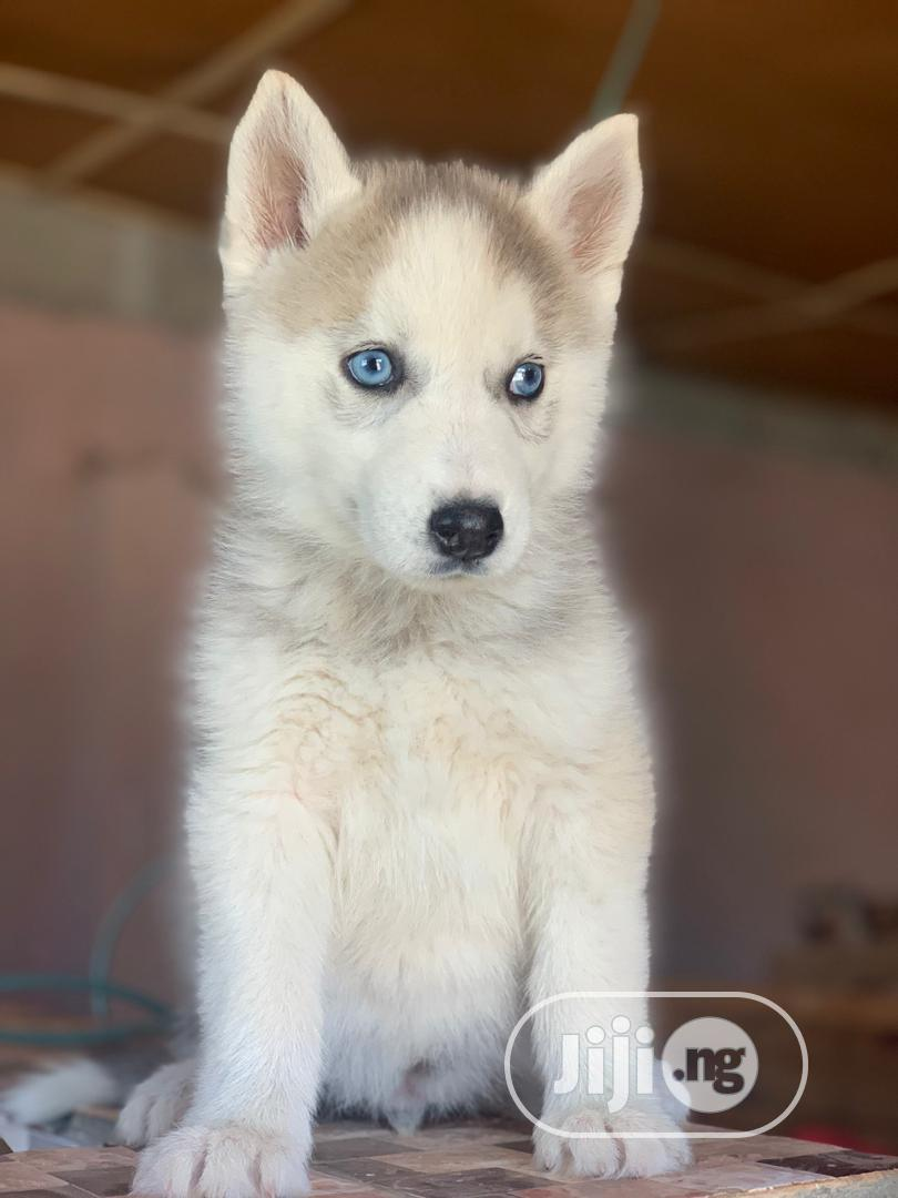 Archive: Young Male Purebred Siberian Husky