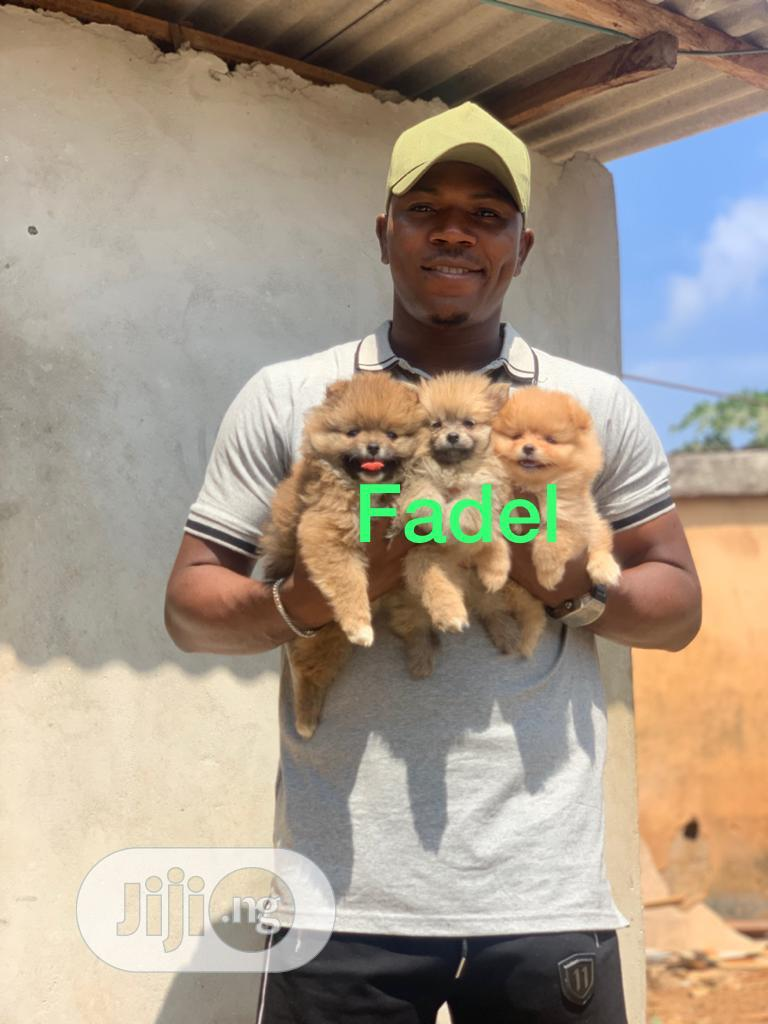 Baby Female Purebred Pomeranian | Dogs & Puppies for sale in Ojo, Lagos State, Nigeria