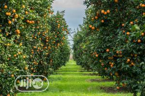 6 -12 Month Harvest Sweet Orange Seedlings & Many More | Feeds, Supplements & Seeds for sale in Ogun State, Ado-Odo/Ota