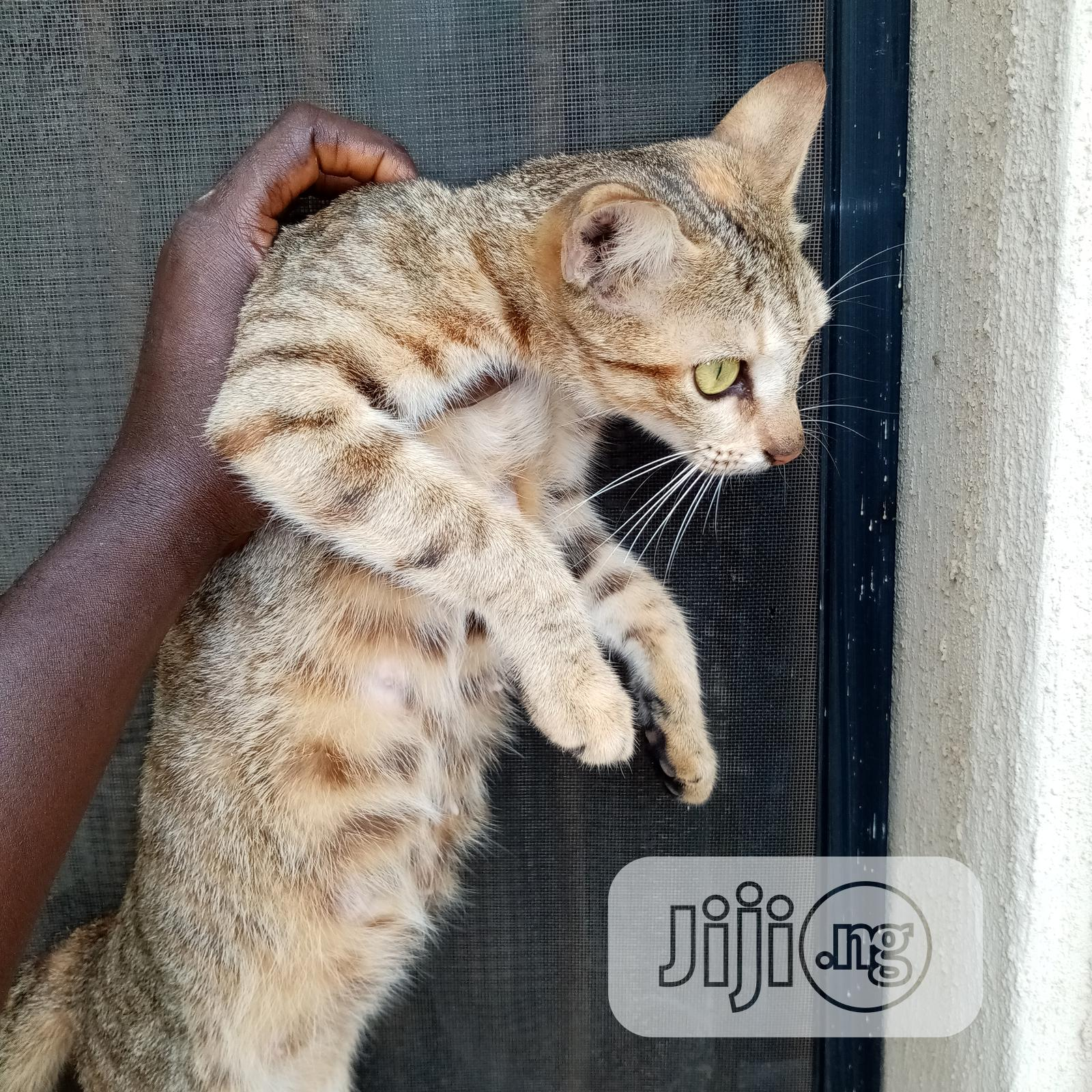 Adult Female Purebred American Curl | Cats & Kittens for sale in Ikotun/Igando, Lagos State, Nigeria