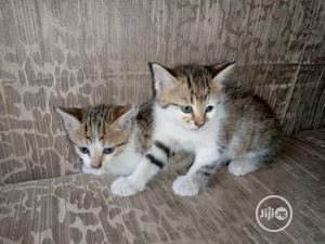 Baby Male Purebred Siberian | Cats & Kittens for sale in Lagos State, Alimosho