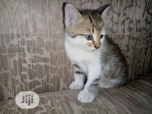 Baby Male Purebred Siberian   Cats & Kittens for sale in Lagos State, Alimosho